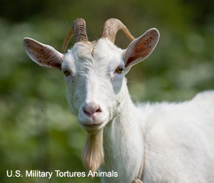 U.S. Military Tortures Goats and Pigs